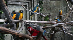 Flock of macaws Stock Footage