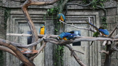 Blue-and-Yellow Macaw, Ara ararauna  Stock Footage