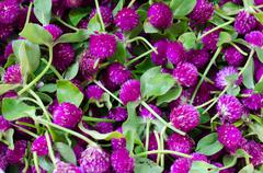 Purple Globe Amaranth or Bachelor Button flower (Gomphrena globosa L.) Stock Photos