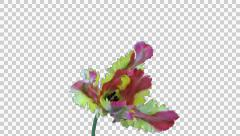 Time-lapse of opening French tulip, 4K format with ALPHA Stock Footage
