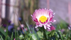 Bellis Perennis Outside Stock Footage
