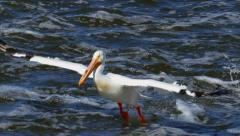 White Pelicans Closeup, Flying, Swimming Stock Footage