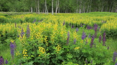 Lupin field and forest, Hokkaido, Japan Stock Footage