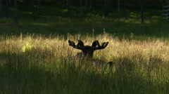 A moose lying in tall grass Stock Footage