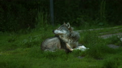 A wolf lying and looking around Stock Footage