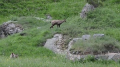 Chamois (Rupicapra rupicapraeat) are eating the new grass in spring Stock Footage