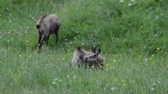 Chamois (Rupicapra rupicapra) eat grass in spring Stock Footage