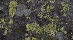 Lichens,  Rhizocarpon Geographicum, Close-Up,  Lichen, rock, Gran Paradiso Stock Footage