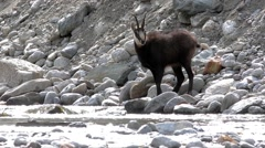 Rupicapra rupicapra, chamois, drink, drinking, Stock Footage