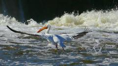 White Pelican Flies Low and Walks on Water, Slow Motion Stock Footage