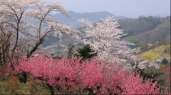 Hana Peach and cherry blossoms, Fukushima Prefecture, Japan Arkistovideo