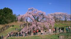 Tourists enjoying cherry blossoms, Fukushima Prefecture, Japan - stock footage