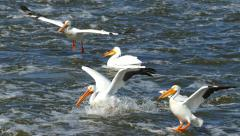 White Pelicans Fly Low and Land in Water, Slow Motion - stock footage