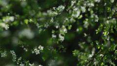 Branches of cherry tree with white blossoms in a dreamy spring garden Stock Footage