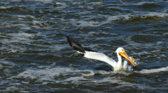 American White Pelican Catches, Eats Huge Walleye Fish Stock Footage