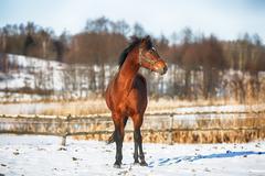 Bay horse in winter - stock photo