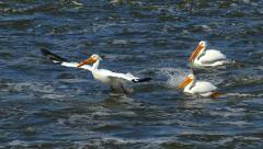 American White Pelicans Fishing in Group on River, Slow Motion Stock Footage
