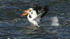 White Pelicans Fly Low and Walk on Water, Slow Motion - stock footage