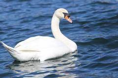 beautiful White Swan swimming in the clear water - stock photo