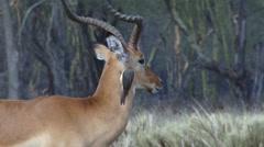 A tick bird on the eye of an impala gazelle. Stock Footage