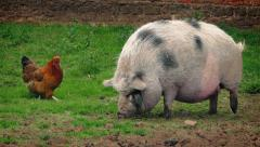 Pig And Chicken On The Farm - stock footage
