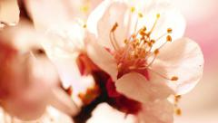 Rotation Beautiful Cherry Blossom 13 Stock Footage