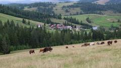 Cows on the grassland in Carpatians, Ukraine Stock Footage