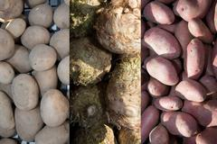 Background of  varieties of potatoes and organic celery root Stock Photos