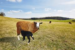 Sheep are grazing on the meadow, Czech Republic - stock photo