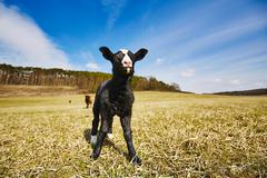 Lamb is grazing on the meadow, Czech Republic Stock Photos
