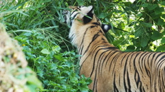 Indochinese Tiger eating grass.60 FPS. Stock Footage
