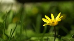 Stock Video Footage of Lesser Celandine, Ranunculus Ficaria