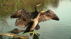 Great cormorants (Phalacrocorax carbo) drying its wings Stock Footage