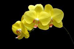 Moon's orchid (Phalaenopsis amabilis) Stock Photos