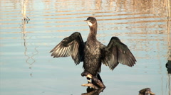 Pygmy cormorant (Microcarbo pygmeus) drying its wings Stock Footage
