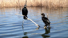 Great cormorant (Phalacrocorax carbo) sitting in sun on branches Stock Footage