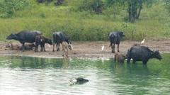 Wild buffalo bathing in the lake in Sri Lanka 4k Stock Footage