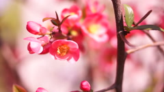Chaenomeles japonica, Japanese Flowering Quince Stock Footage