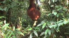 Sumatra, monkey hanging in tree Stock Footage