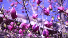 Yulan magnolia or Magnolia Denudata Stock Footage