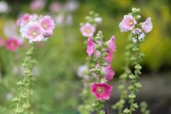 Stock Photo of Alcea Rosea flowers