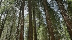 4K Sequoia Forest 13 Grant Grove Kings Canyon Handy Stock Footage