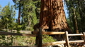 4K Sequoia Forest Dolly 01 Grant Grove Kings Canyon Footage