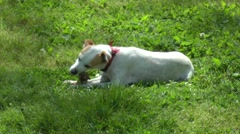 Dog eats meat and bone. Stock Footage