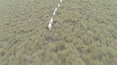 Aerial Shot Flying Over Cattle In North Queensland Stock Footage