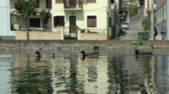 Group of three ducks swims. Stock Footage