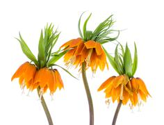 Stock Photo of Three Imperial Crown (Fritillaria Imperialis) isolated on white background
