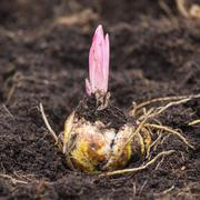 Flower bulb with sprouting purple lily Kuvituskuvat