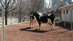 Lincoln Park Cows 01 Stock Footage