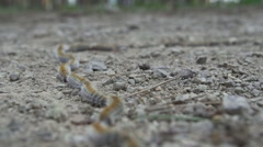 Caterpillars of butterflies move quickly on rocky road-timelapse Stock Footage